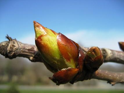 chestnut_bud